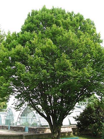 Граб обыкновенный (Carpinus betulus) – типовой вид рода