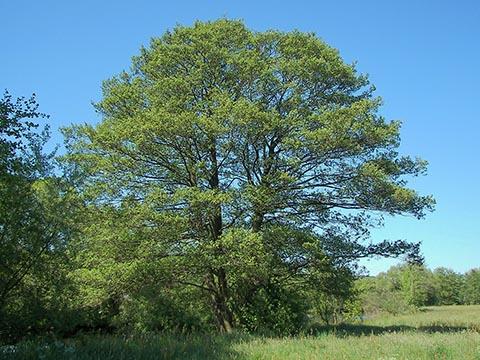 Ольха чёрная. Общий вид взрослого дерева. Марбург, Германия