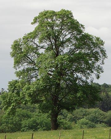 Elm (Ulmus minor) Blismes, Ньевр, Франция