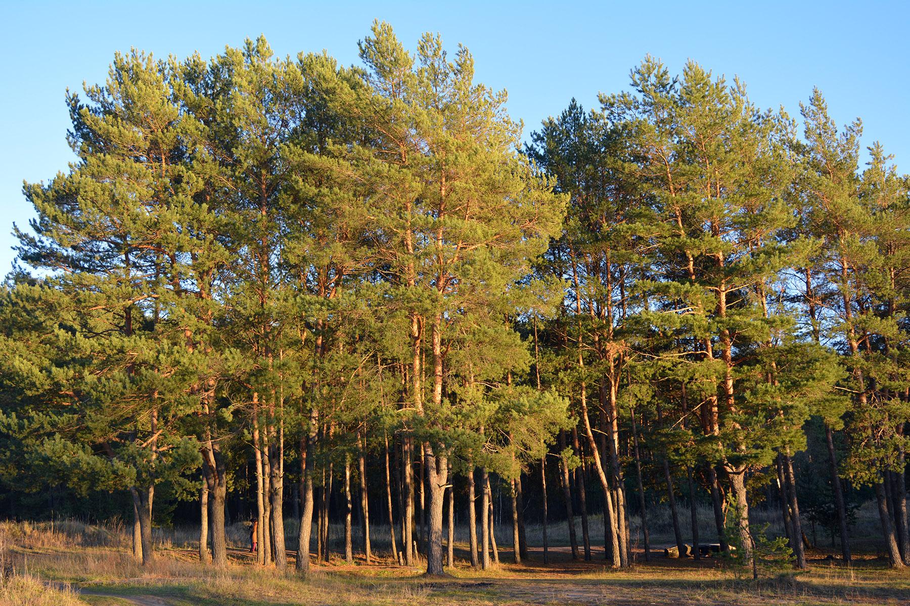 на опушке соснового леса фото видео флешку сможете